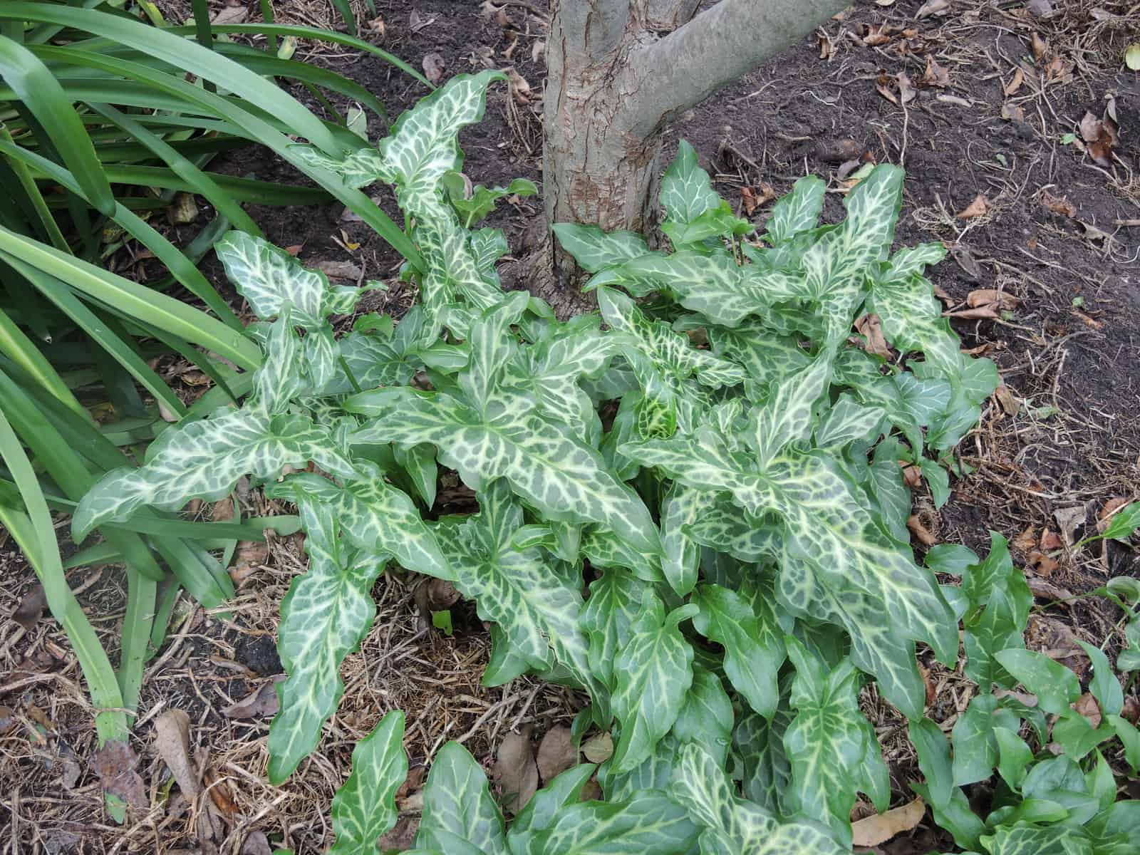 A Garden Thug - NEVER plant Arum Italicum