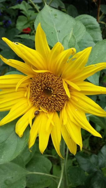 The cheerful sunflower and spotted guest.